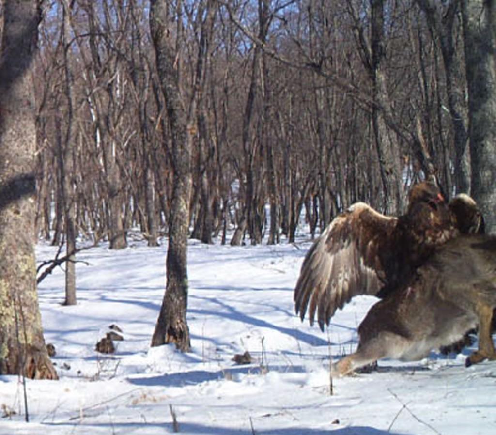 EagleDeer3 by Linda Kerley, Zoological Society of London (ZSL)